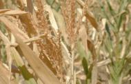 Ion Perju a anunțat când fermierii pot primi compensații pentru pierderile înregistrate în urma secetei