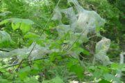 În trei raioane din nordul țării a fost depistată omida păroasă a dudului