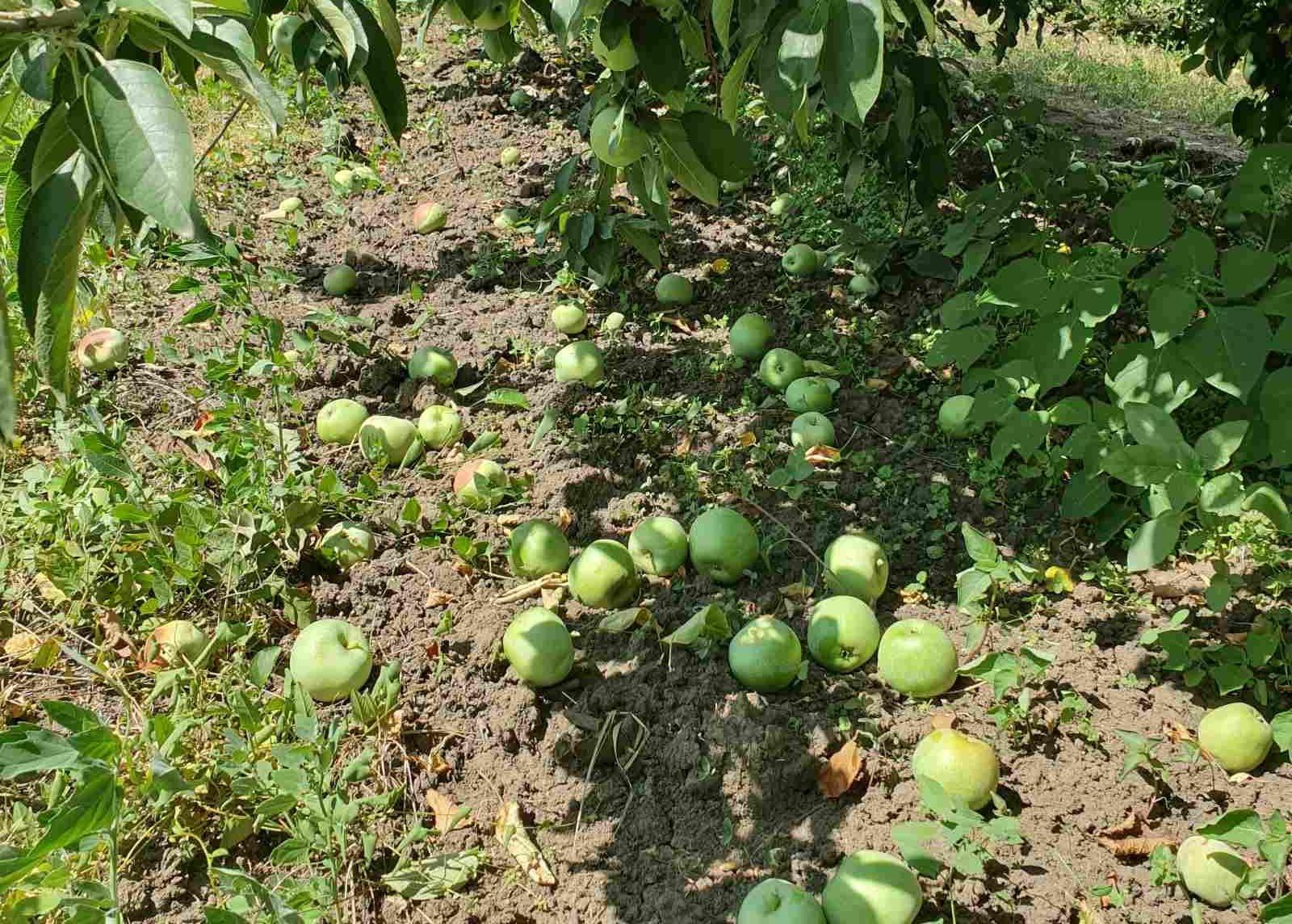 Din cauza secetei, în livezile din nordul țării, cad merele de pe pomi